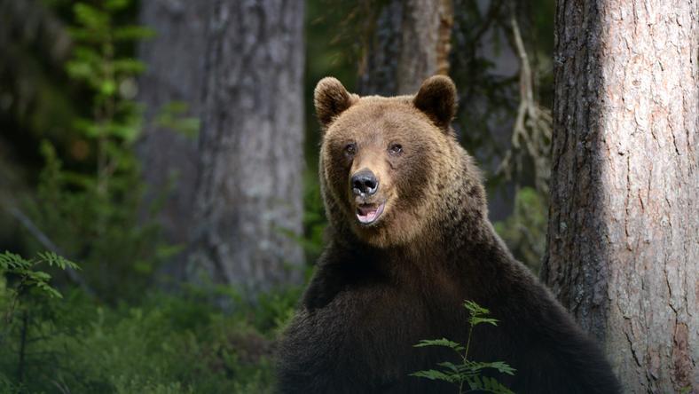 Spotkał niedźwiedzia w drodze do pracy