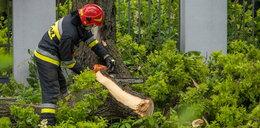 W Łodzi drzewo runęło na ulicę. Dowiemy się dlaczego?