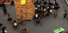50 kaczek wbiegło do sklepu w Nowym Jorku