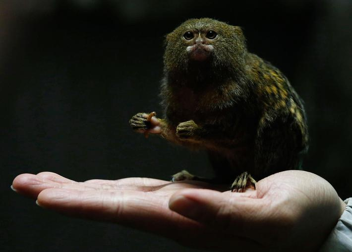 Hong Kong Ocean Park worker poses with a pygmy marmoset, the worlds smallest monkey, in Hong Kong