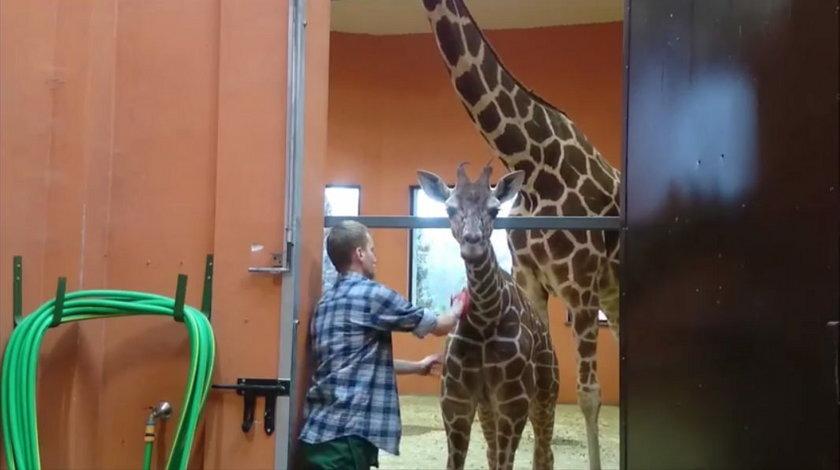 Masaż żyraf w chorzowskim zoo