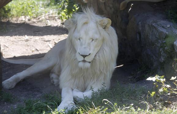 Čak je i lavovima teško na ovim vrućinama