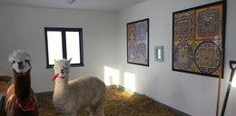 Kora hipnotyzuje swoje alpaki buddyjskimi obrazkami