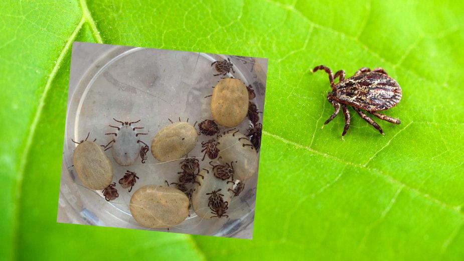 Sezon na kleszcze rozpoczęty. Jak ochronić się przed insektami?