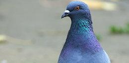 Sąsiedzka wojna o gołębie