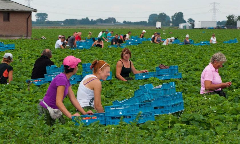 Na zdjęciu: polscy pracownicy sezonowi na zbiorach w Holandii