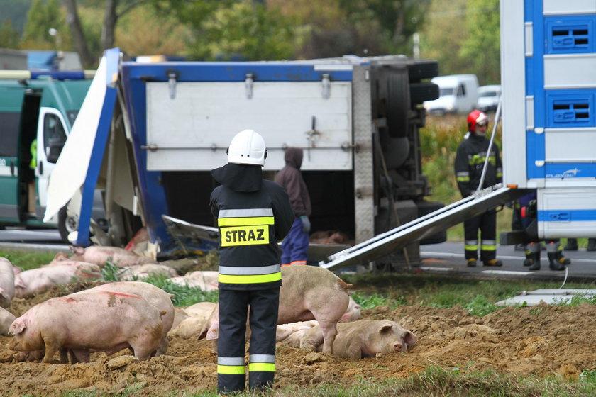Wypadek ciężarówki ze świniami w Dębnie