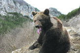 medved tara 1