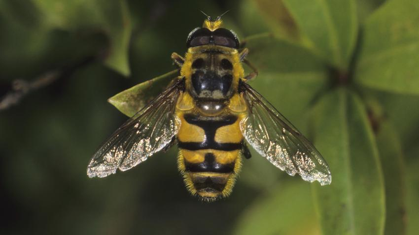 Myathropa florea, species from the Syrphidae family of Hoverflies