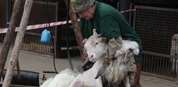 Owce w zoo nie mają już runa