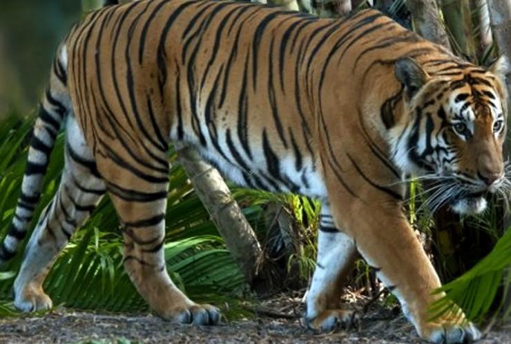 Malajski tigar korona