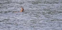 Wodniacy z Rybnika uratowali tonącego jelonka