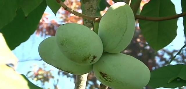 Banane iz Prokuplja