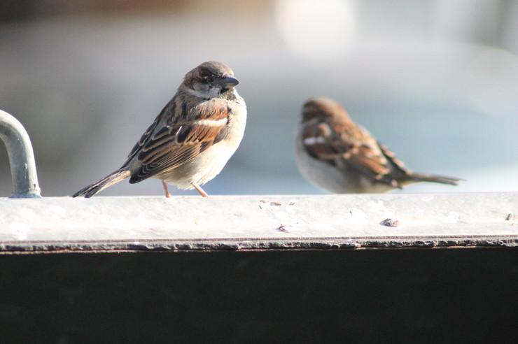 Nestajanje vrabaca
