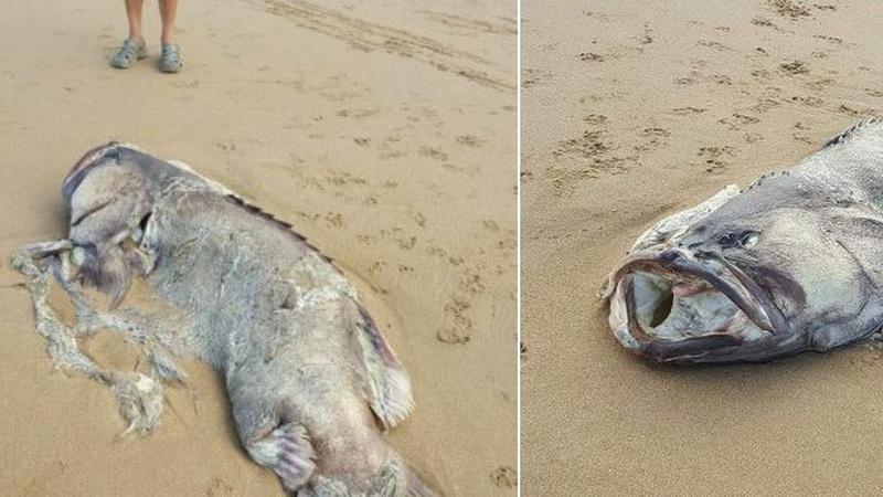 Niezwykła ryba na plaży w Australii
