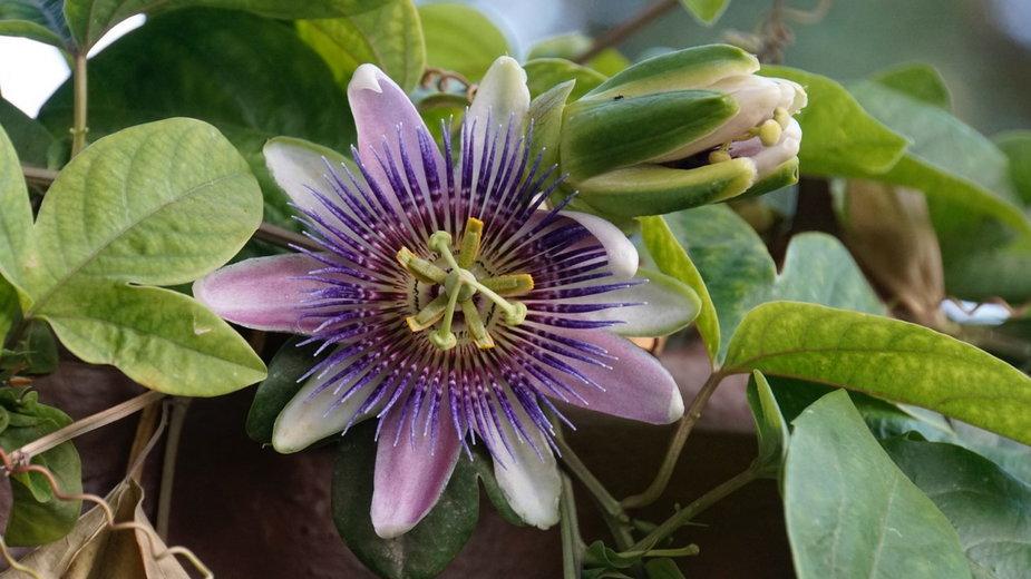 Rośliny Wielkanocy - Męczennica cielista (Passiflora incarnata)