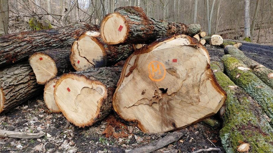 Masowa wycinka zdrowych drzew w Puszczy Bukowej