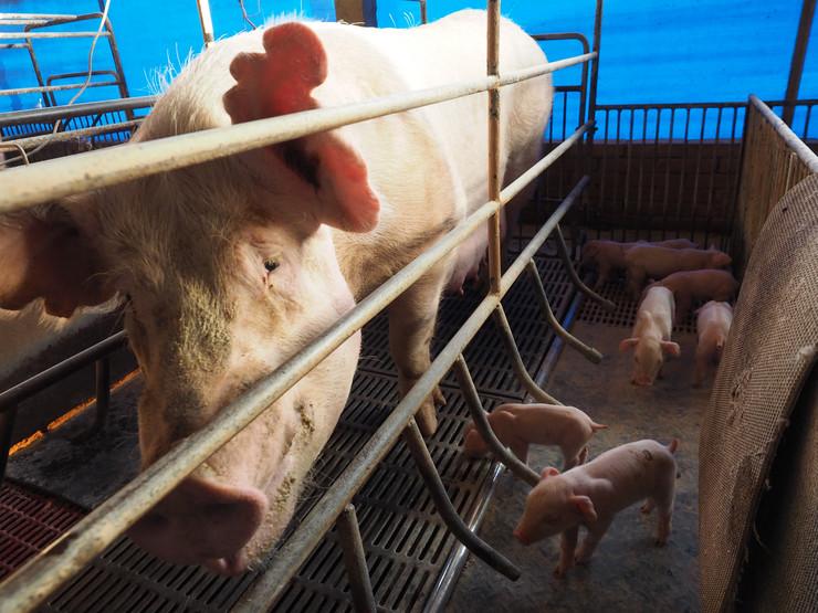 tajvan svinje