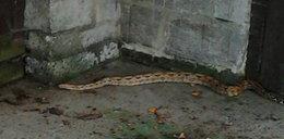 1,5-metrowy wąż grasował po ulicach miasta!