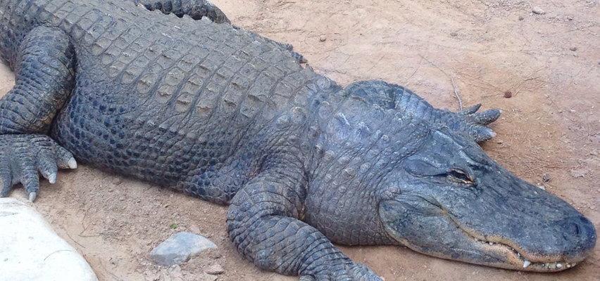 Krokodyl sterroryzował indyjską wioskę. Maszerował przez środek ulicy, a ludzie uciekali w panice