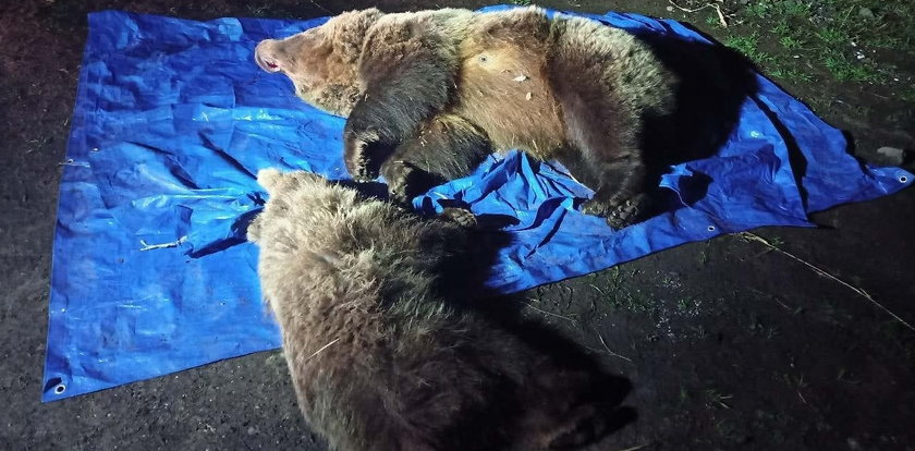 Zastrzelenie niedźwiedzicy z małym misiem w Tatrach wywołało szok! Oskarżenia komentuje TPN