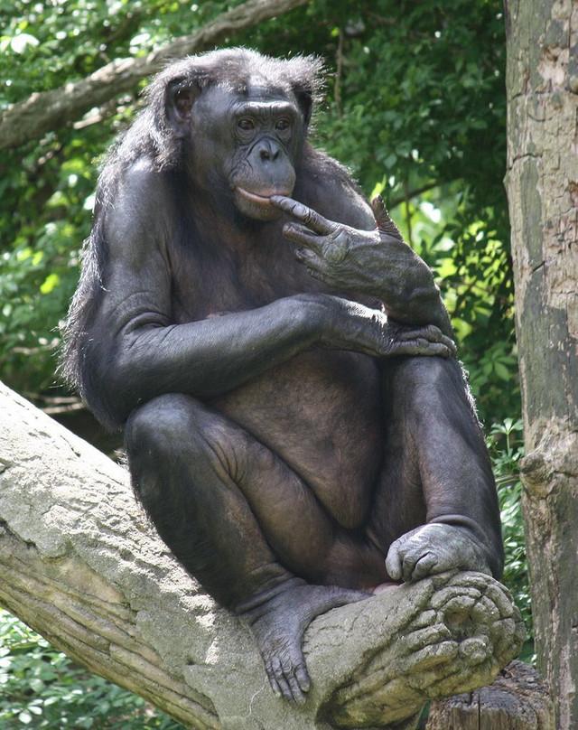 Orgije majmuna