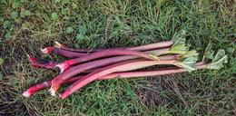Rabarbar – warzywo dla pracowitych