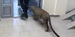 Zamieszkał w bloku z leopardem. Sąsiedzi są przerażeni