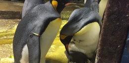 Para pingwinów gejów uprowadziła dziecko heteroseksualnym rodzicom