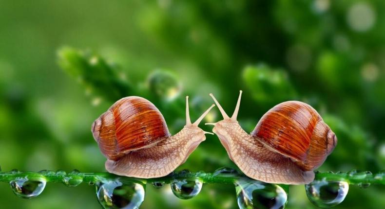 Snails secret mucin that is potent with vital nutrients.