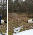 Tragiczny wypadek pod Strzegowem. Byk zabił gospodarza
