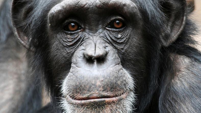 Małpki seks wideo