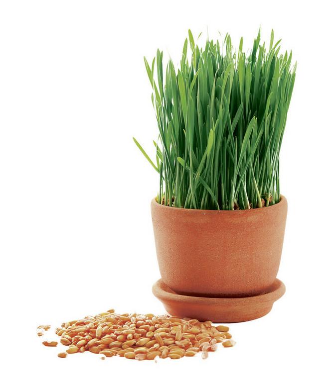 Danas zasadite Božićnu pšenicu