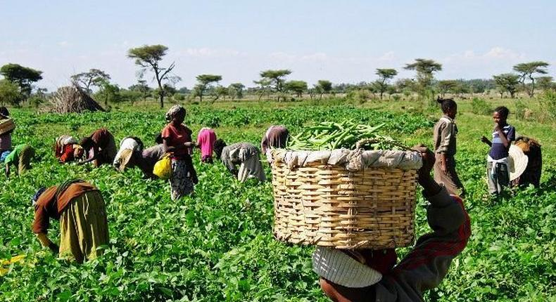Government of Ghana is introducing an agricultural insurance policy for smallholder farmers, here's how