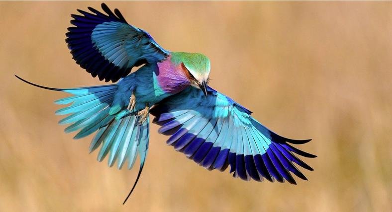 The Lilac-breasted roller is one of the national symbols of Kenya.