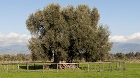 We Włoszech stworzono rejestr najstarszych drzew