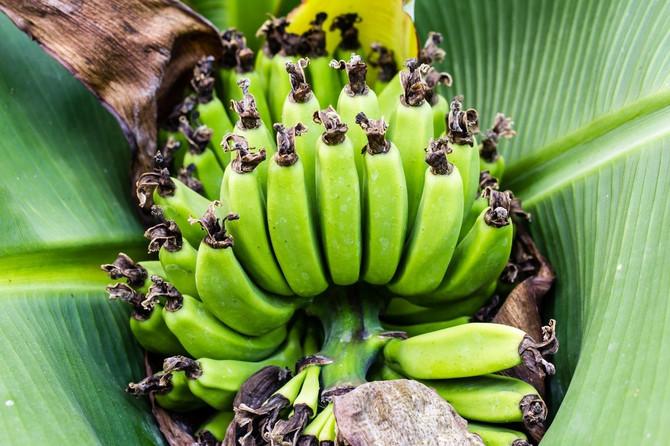 Banana se rascveta i rađa plodove