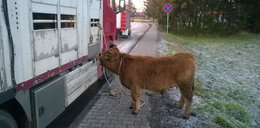 Wielka ucieczka byków. Ganiała je cała wieś