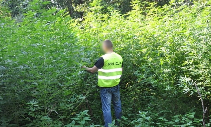 Zaleźli w lesie pole marihuany. Zobacz FILM