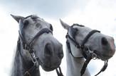 Dan konja na Novosadskom sajmu