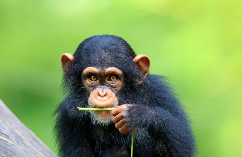 Chimpanzees can cook, scientists have discovered