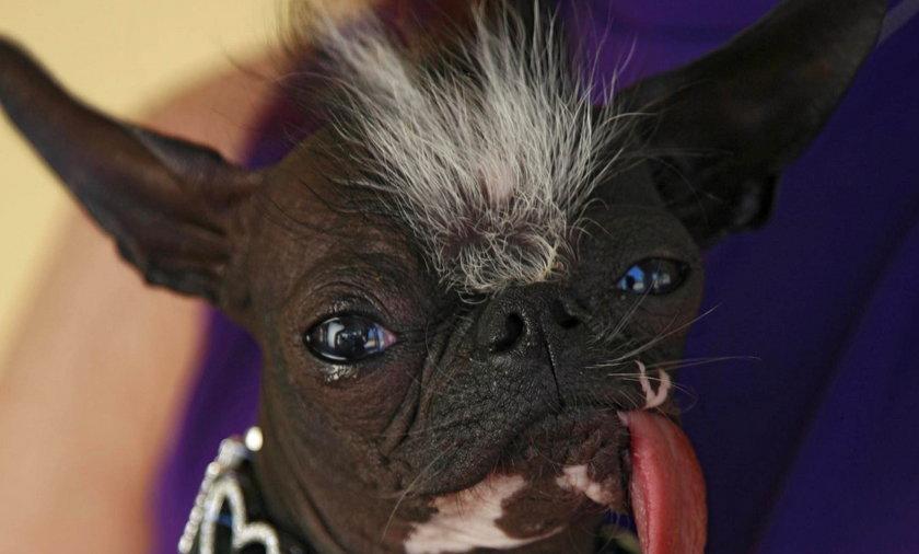 Elwood najbrzydszy pies na swiecie