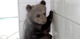 Niedźwiadkiem sierotką zaopiekowali się ludzie