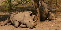 Nosorożca harce w błocie. FILM