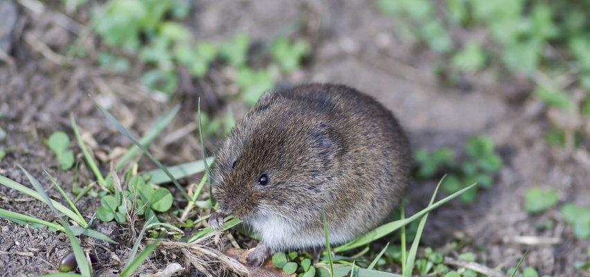 Myszy w domu to poważny problem. Hałasują i roznoszą choroby. Tak się ich pozbędziesz