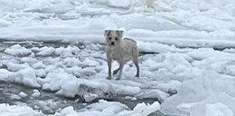 Rozbrykany Misiek utknąłna lodzie