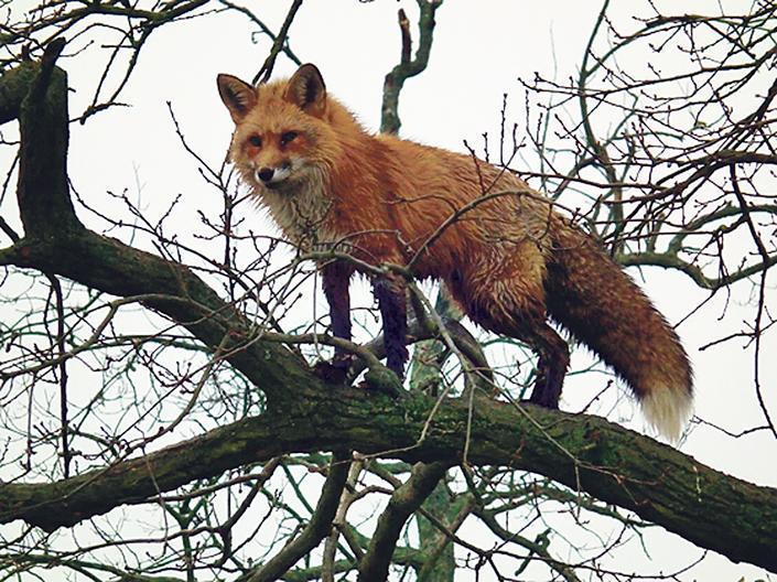 Ahogy kitette a lábát a medve Miskolcról, megérkeztek a rókák – fotók   nlc