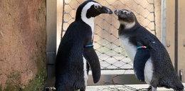 Słynny pingwin ma adoratora