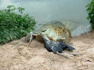 WAT-8369 Orinoco CROCODILE - coming out of water to catch Heron Hato El Frio, Venezuela Crocodylus i