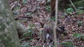 Małpa i samica jelenia zostały przyłapane na...